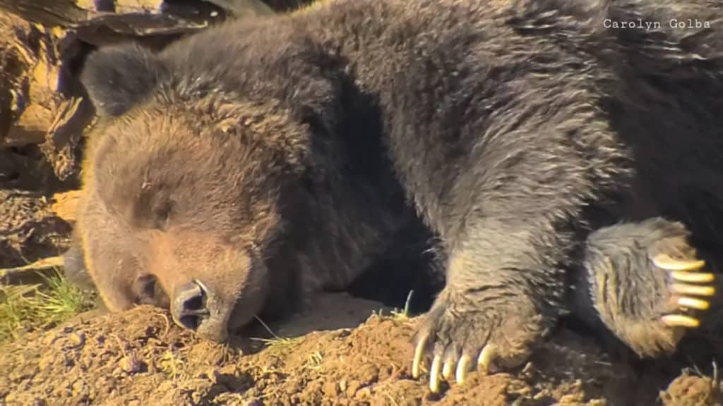 Yellowstone grizzly filmed napping and dreaming {VIDEO}